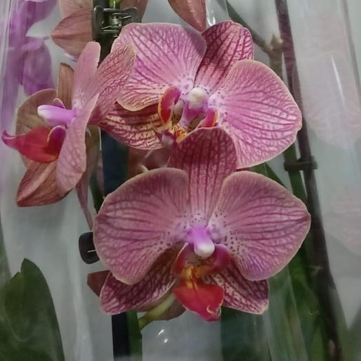 Комнатное орхидея