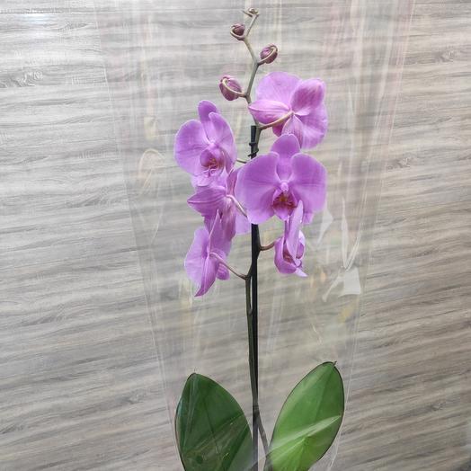 ✅ Орхидея сиреневая