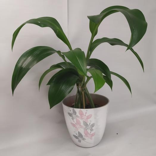 Комнатное растение. Эухарис