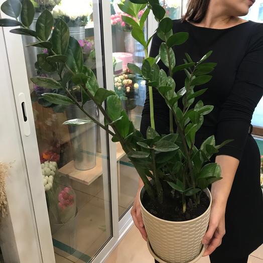Комнатное растение Долларовое дерево Замиакулькас