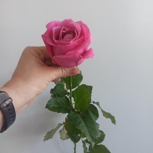 Роза розовая 60 см