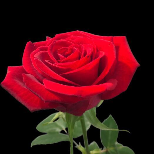 Роза Red Naomi 60 см