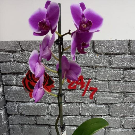 Комнатное растение фаленопсис