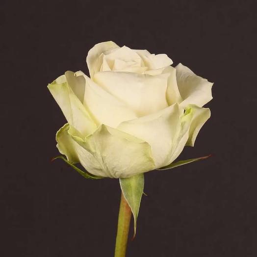 Белая роза премиум штучно