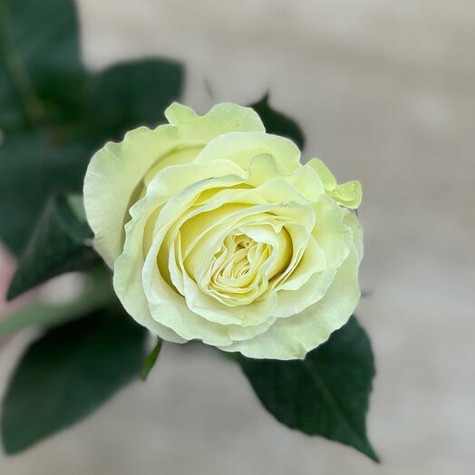 Роза 80см