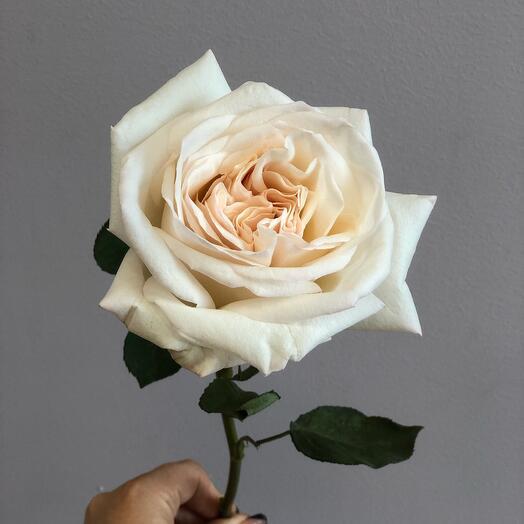 Пионовидные Розы О Хара