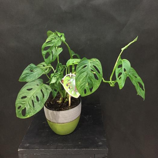 Monstera Monkey Leaf: букеты цветов на заказ Flowwow