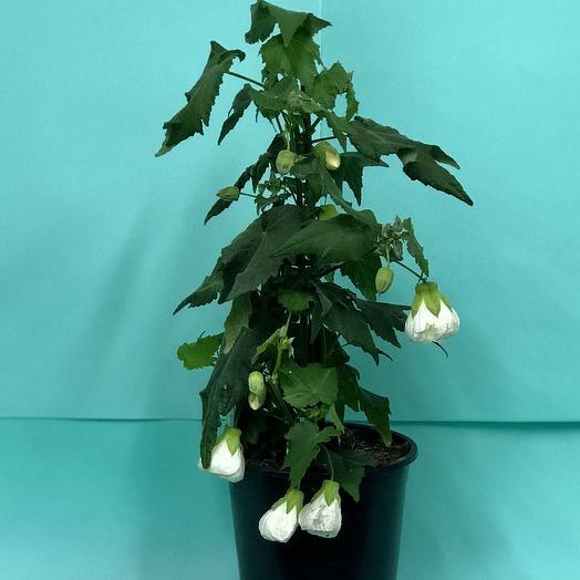 Абутилон: букеты цветов на заказ Flowwow