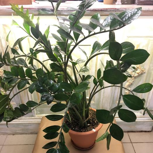 Комнатное растение «Замиакулкас»