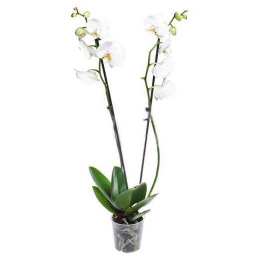 Орхидея белая 2 ст