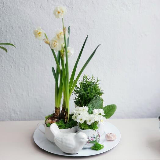 Комнатное растение нарцисс,  примула и гвоздика