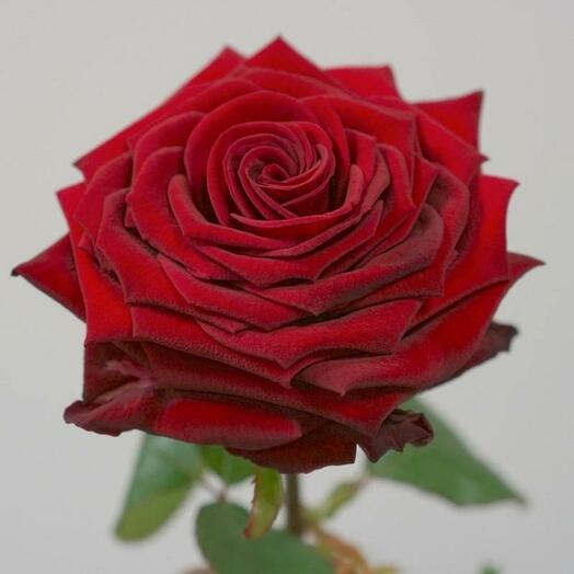 Роза Ред Наоми, 60см