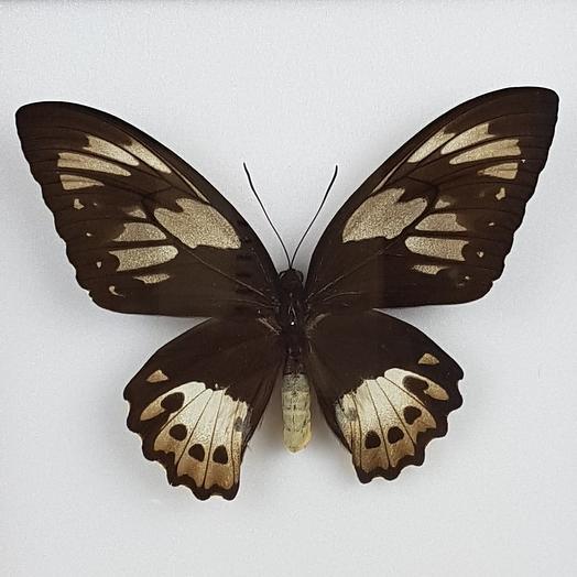 Бабочка - Птицекрыл Приам: букеты цветов на заказ Flowwow