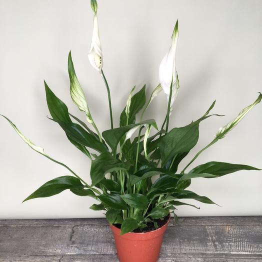 Спатифиллиум д9: букеты цветов на заказ Flowwow
