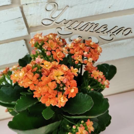 Каланхоэ оранжевый с топпером