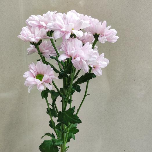 Хризантема розовая Ромашка