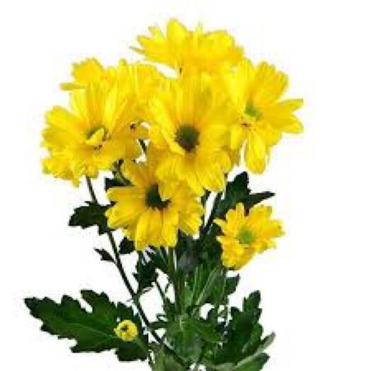 Хризантема желтая Ромашка