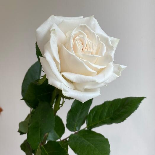 Белая Роза поштучно Playa Blanca