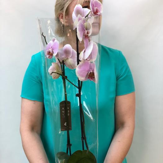 Фолинопсис: букеты цветов на заказ Flowwow