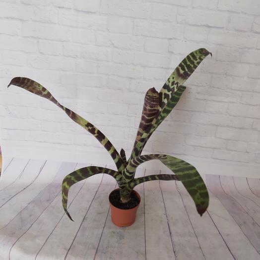Комнатное растение Вриезия