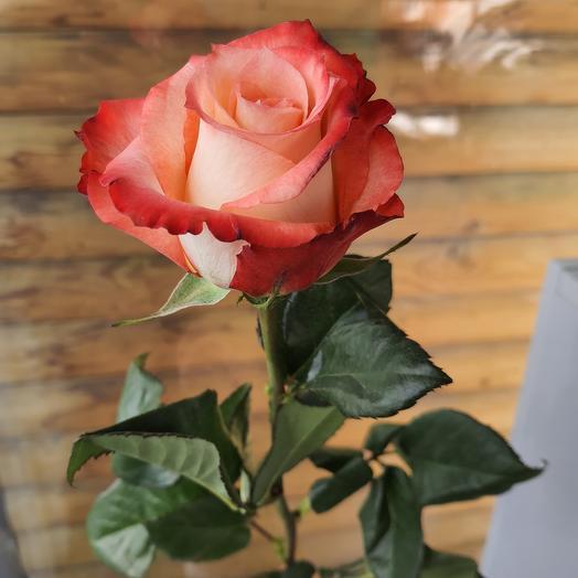 Роза Эквадор Кабарет 60 см