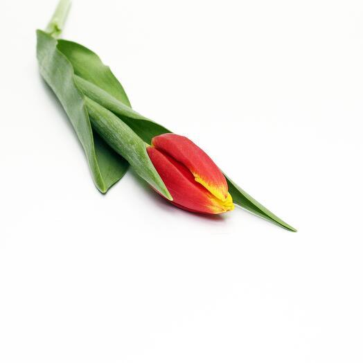 Рыжий тюльпан