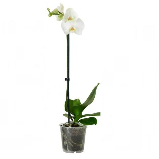 Орхидея фаленопсис белый: букеты цветов на заказ Flowwow