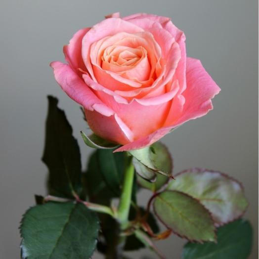 Роза Россия Мисс Пигги