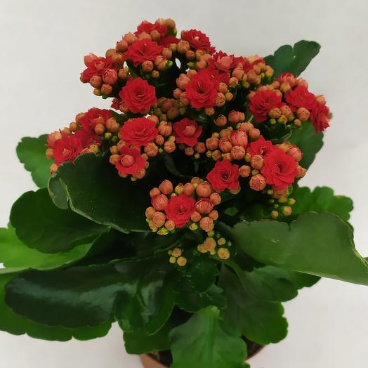 Комнатное растение ( Каланхоэ декоративный)