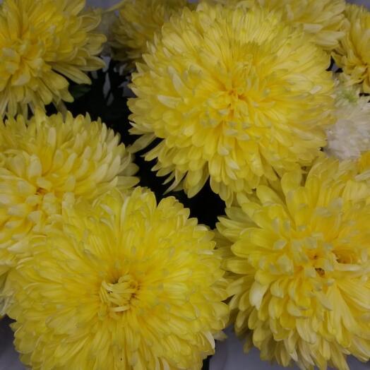 Хризантема одноголовая жёлтая 1 шт