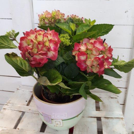 Гортензия : букеты цветов на заказ Flowwow
