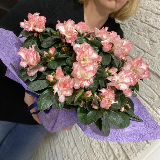 Азалия крупноцветковая: букеты цветов на заказ Flowwow