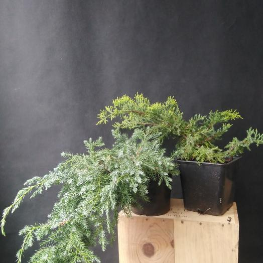 """Растение""""Можжевельник горизонтальный"""": букеты цветов на заказ Flowwow"""