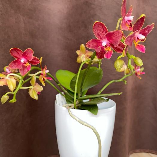 Орхидея бабочка. Отцвела