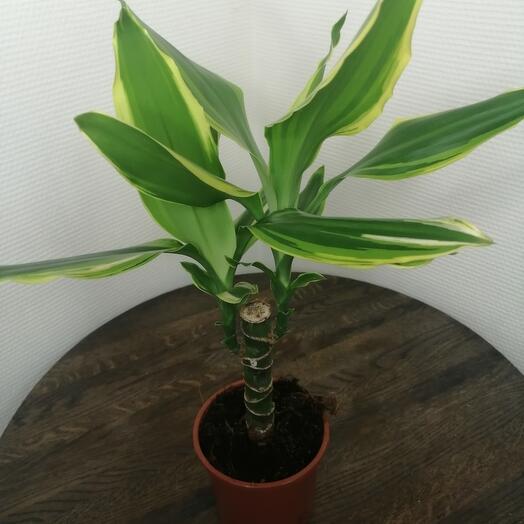 Комнатное растение драцена голден коаст