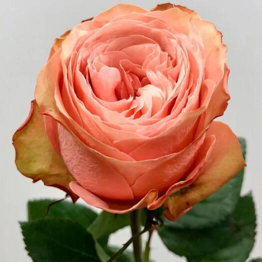Пионовидные розы эквадор Кахала 60 см