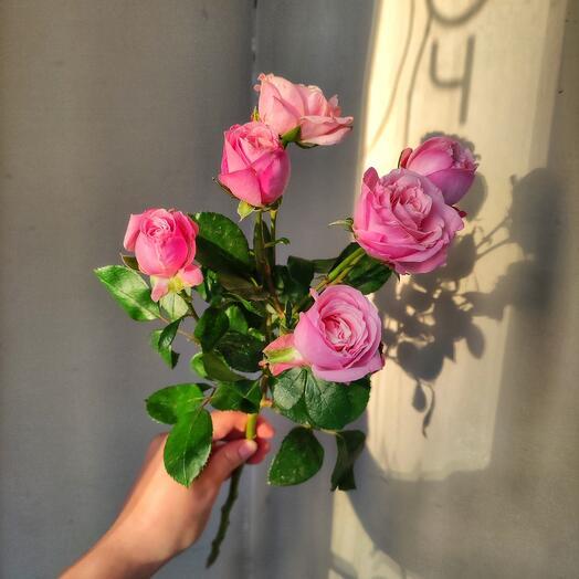 Розовая роза кустовая