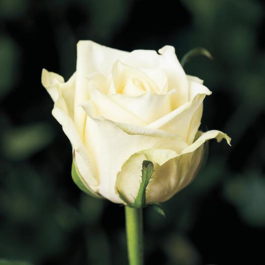 Роза Аваланш