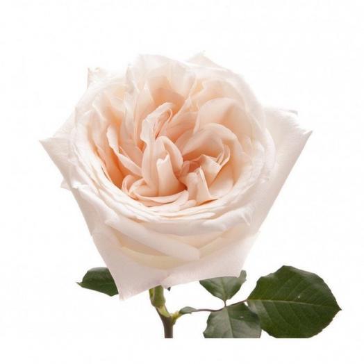 Роза Вайт Охара 50см