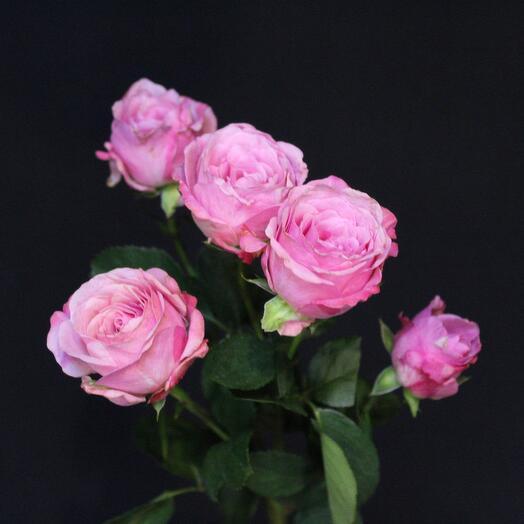 Роза кустовая пионовидная Ledi Bombastic
