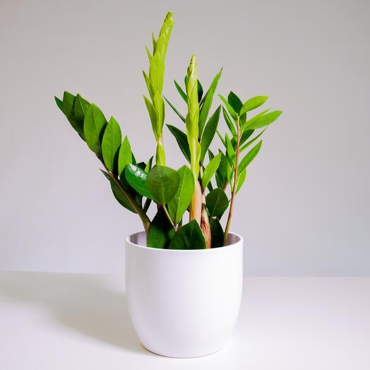 """Растение """"Замиокулькас"""" пересаженное в Белый овал горшок"""
