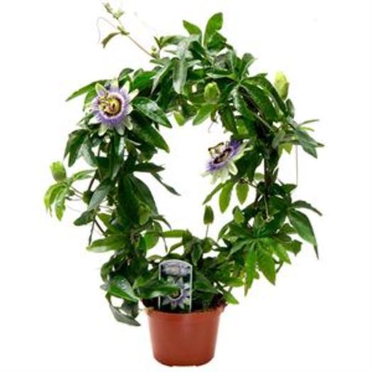Пассифлора Каэрулеа на дуге 12*40: букеты цветов на заказ Flowwow