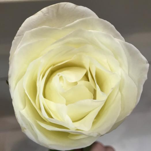 Роза белая (60 см)