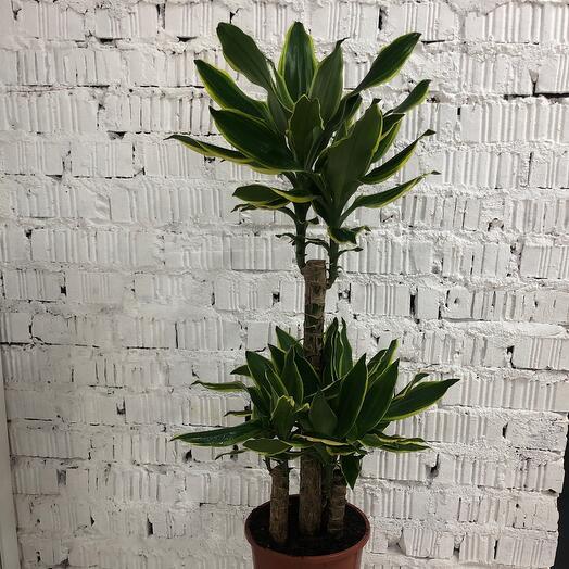 Драцена Fragrans premium quality