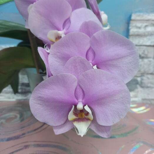 """Фаленопсис 1ствол. """"Орхидея"""""""