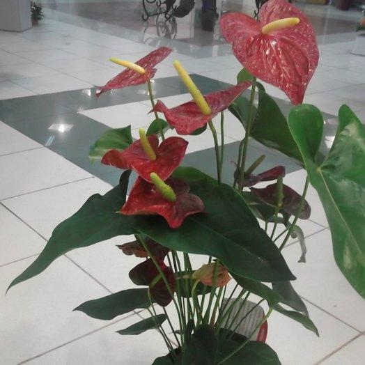 Антуриум Андре: букеты цветов на заказ Flowwow