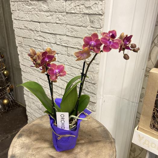 Коллекционная орхидея фаленопсис: букеты цветов на заказ Flowwow