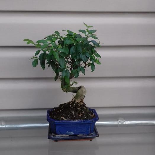 Горшечное растение Бонсай
