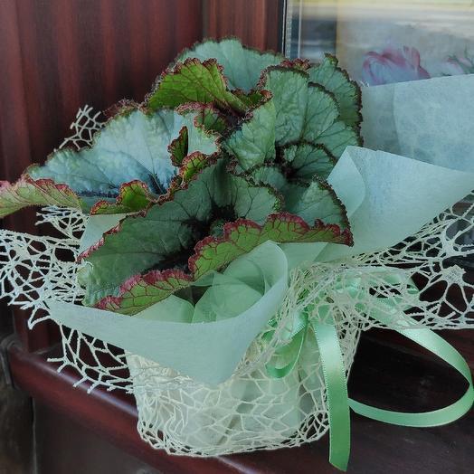 Бегония королевская: букеты цветов на заказ Flowwow