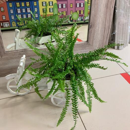 Комнатное растение нейролептический в кашпо